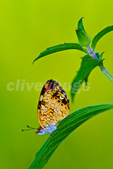 Pearly Crescentspot (Phyciodes tharos) Butterfly on horsemint leaf