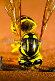 Yellow Jacket Wasp (Vespula squamosa)