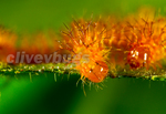 Io Moth (Automeris io )Caterpillar Hatchlings Red Phase