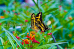 Giant Swallowtail Butterfly (Papilio cresphontes) Collecting nectar