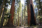 Giant Sequoia trees in California's Sequoia National Park, showing perspective with boy on the ground