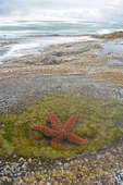 Starfish in tidepool along the Oregon Coast