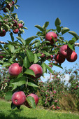 Apple orchard, apples ripe and ready to pick