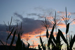 Corn stalks against the sunset