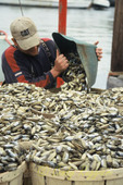 Fisherman unloads his catch of the day, razor clams which are used as eel bait