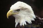 Bald eagle, head shot
