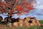 Hay bales under autumn colors