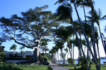 Kapok tree, West Palm Beach Florida