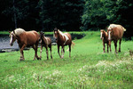 Horses stroll through a meadow