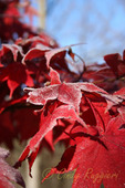 Frost on Red Leaves in Autumn