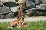 Baby giraffe, Roger Williams Park Zoo, Providence Rhode Island