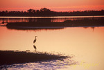 Lone heron at sunset, Blackwater National Wildlife Refuge, Cambridge, Maryland