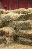 Hay bales piled somewhat hapharzardly in front of the barn