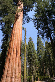 Giant Sequoia tree in California's Sequoia National Park