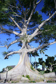 Kapok Tree, West Palm Beach Florida