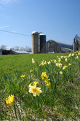 Daffodils add color to this rural scene