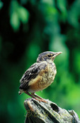 Baby robin perched on a tree stump