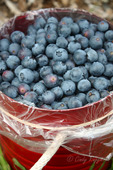 A bucketful of fresh-picked blueberries