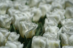 White tulips, Longwood Gardens, Kennett Square Pennsylvania