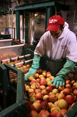 Starting the cider-making process, the apples are loaded in the press. The Cider Mill, Endicott New York
