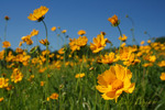 Coreopsis grow wild in this Pennsylvania field
