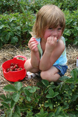 Picking (and tasting!) strawberries