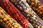 Indian corn close-up