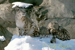 Snow Leopards, Roger Williams Park Zoo, Providence Rhode Island