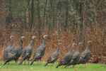 Wild turkeys march in a row