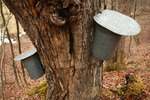 Sap buckets collecting maple syrup