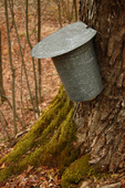 Sap bucket collects maple syrup