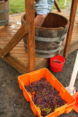 Grape Stomping, Cobblestone Winery, Finger Lakes region, NY