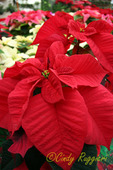 Red White and Pink Poinsettias