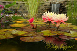 Water lilies, waterfall in background