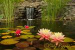 Water lilies, koi pond
