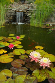 Koi pond with water lilies and waterfall
