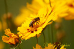 Bee on Coreopsis