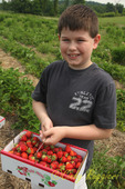 A basket of strawberries at the u-pick