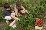 Picking strawberries at the U-pick