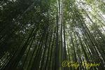 Bamboo Grove, Blithewold Mansion, Gardens and Arboretum, Bristol Rhode Island