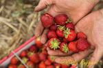 A handful of fresh strawberries