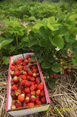 Strawberries at the U-pick