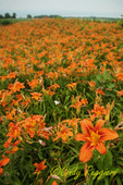 Field of Tiger Lilies