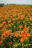 Field of Tiger Lilies