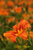 One Tiger Lily