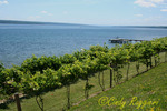 Cayuga Lake Vineyard, Finger Lakes, New York