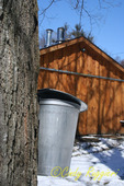 Collecting sap outside of the sugar shack