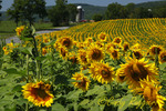 Field of Sunflowers, barn and silo in background