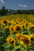Field of Sunflowers, silo in background