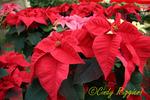 Holiday Poinsettias